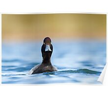 Lesser Scaup in Fresh Breeding Plumage Poster