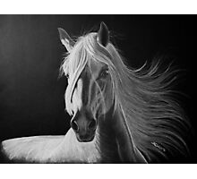 """A White Beauty"" - Lusitano stallion Photographic Print"