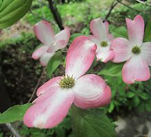 pink dogwood  by robinhensley