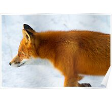Red Fox in the Arctic Poster
