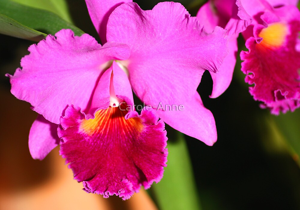 Orchid in Magenta by Carole-Anne