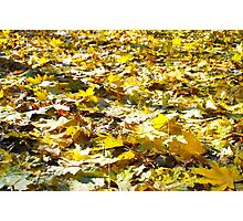 Selective focus on the yellow fallen autumn maple leaves Photographic Print