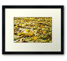 Selective focus on the yellow fallen autumn maple leaves close-up Framed Print