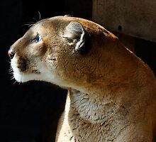 Eiger the Cougar by Robin Nellist