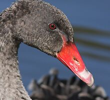 Swan Portrait by Phillip Weyers