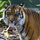 Sharp Trap Tiger by SUMIT TANDON