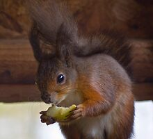 Red Squirrel - Isle of Wight by Zamzara