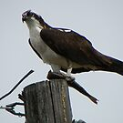 Osprey Eating Fish by Betty E Duncan © Blue Mountain Blessings Photography