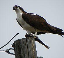 Osprey Eating Fish by BettyEDuncan