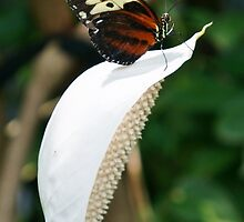 Butterfly (Isabella's Long Wing) on Tip of White Flower (Anthurium) by Nalinne Jones