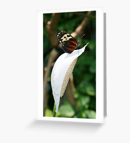 Butterfly (Isabella's Long Wing) on Tip of White Flower (Anthurium) Greeting Card