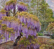Wisteria Tree by Marilyn Cornwell