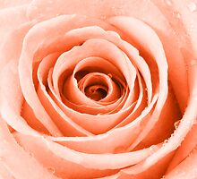Orange Rose with Water Droplets by Natalie Kinnear