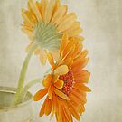 Gerbera  by Henrietta Hassinen
