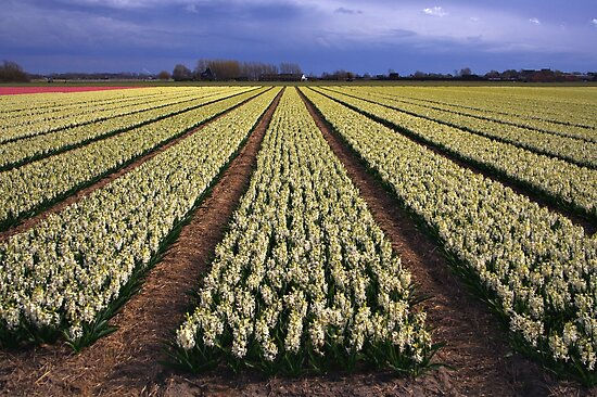 White Hyacinth Field by Jo Nijenhuis