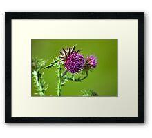 Thistle flower Framed Print