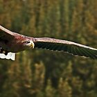 White Tailed Sea Eagle Soaring by David Alexander Elder