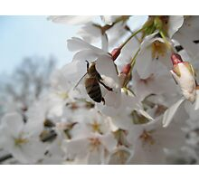 Bee on a Cherry Tree Photographic Print