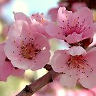 Peach Blossoms by Diana Graves Photography