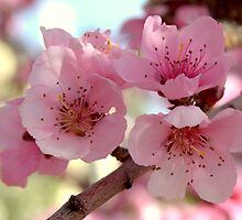 Peach Blossoms by K D Graves Photography