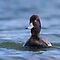Lesser Scaup Showing True Colours by Daniel Cadieux