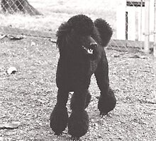 standard poodle by laurafay