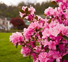 Pink Azaleas in the Urban Jungle III by Shadrags
