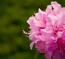 Pink Azaleas in the Urban Jungle V by Shadrags