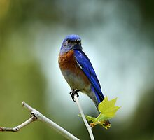 Blue Bird Brokeh by DARRIN ALDRIDGE