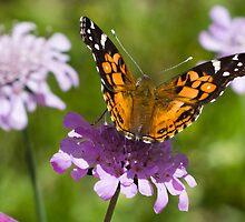 Butterfly by Brenda  Meeks
