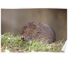 Water Vole Poster