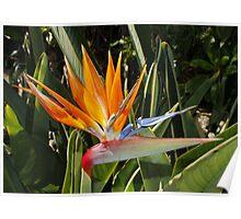 Strelitzia - National Flower of Madeira Poster
