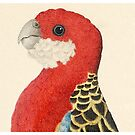 Eastern Rosella by madewithslnsw