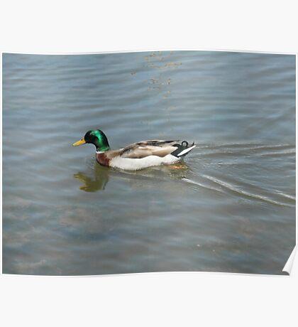 Mallard Duck at duck pond Poster