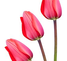 Three Red Tulips by Natalie Kinnear