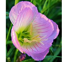 Pretty in Pink - Evening Primrose, Pink Lady - Texas Wildflower Photographic Print