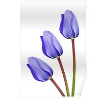 Three Purple Tulips Poster