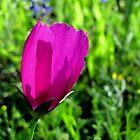 Poppy-Mallow - Winecup - Texas Wildflower by aprilann
