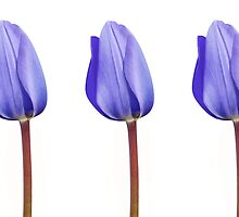 Three Purple Tulips in a Row by Natalie Kinnear