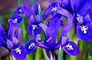 Iris by Light Right Photos