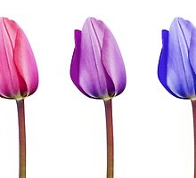 Pink Lilac Purple Tulips in a Row by Natalie Kinnear