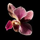Orchid flower by SWEEPER
