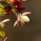 Sunlit Blossom by Roz Cooper