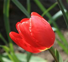 Tulip by -Nesquik-