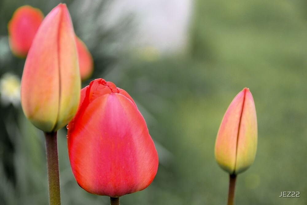 Tulips by JEZ22