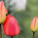 Tulips by JEZ22