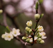 plum tree in full bloom by jomaot