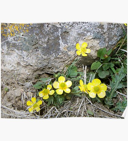 Springtime Buttercups Poster