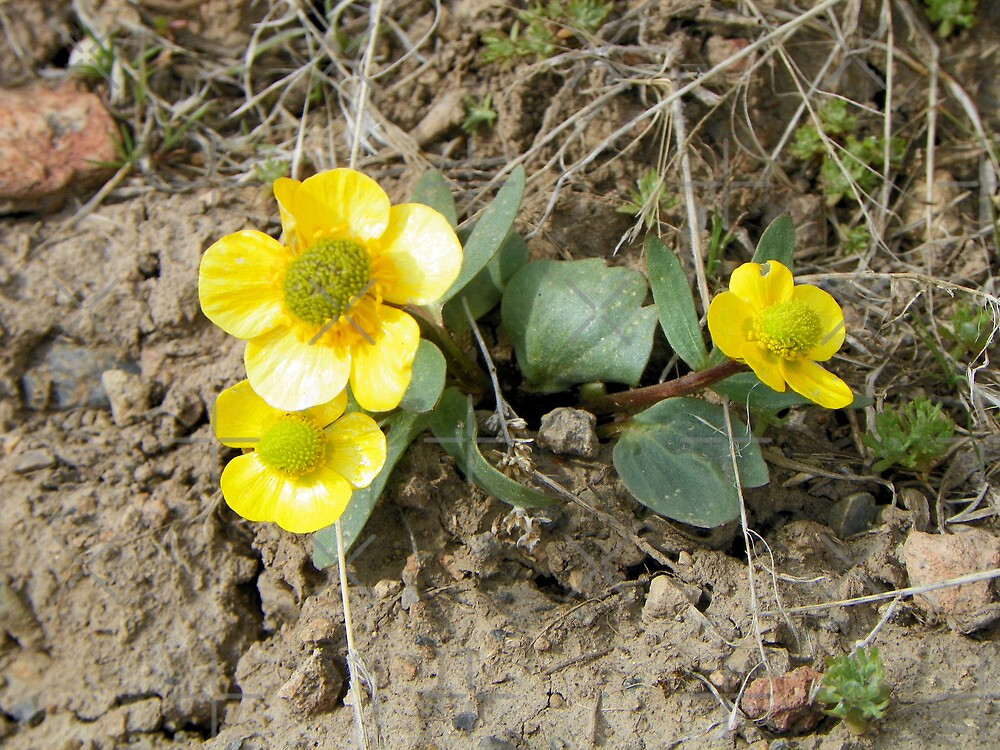 Hearty Yellow Buttercups by BettyEDuncan