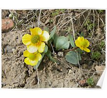 Hearty Yellow Buttercups Poster